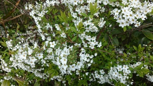 桜の木の足もとに咲くユキヤナギも小さくて可愛らしい花を咲かせています。