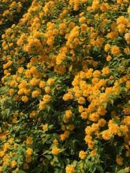 八重の山吹の花が盛りでした。