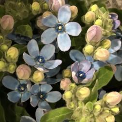 ブルースター 花束などは青いお花を入れると一気に春らしくなります。ちいさな顔がかわいいお花です。