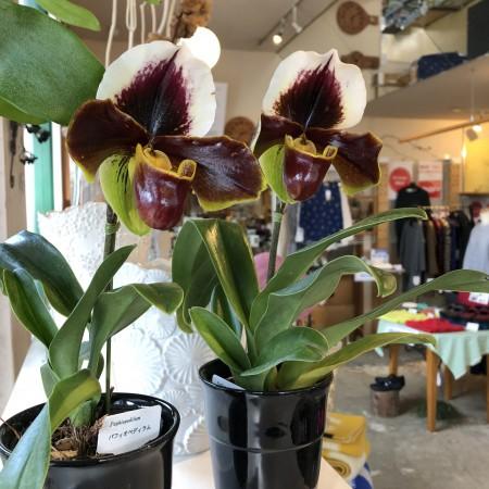 パティオペティラム 2,000円(税別) 花びらの一部が袋状になっている不思議な植物。比較的寒さに強い洋ランです。