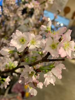 ハウス&ガーデンでは一足早く春を感じるお花・桜が入荷しています!