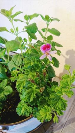 パンジー咲きの花が魅力の ゼラニウム・レディマリー