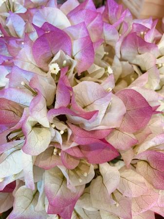 わたしがパッと目を惹かれたのは、ブーゲンビリア! グラデーションっぽい花びらが気になります。