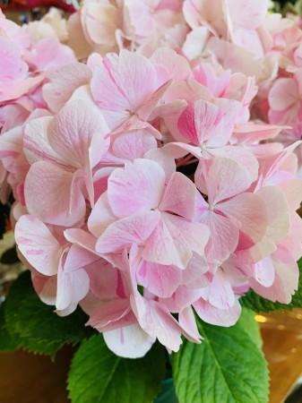 スタッフ小林のおすすめは紫陽花・ルミエール。仏語で『光』という意味だそうです。 だんだんとピンクの絞りが強くなっていきます。