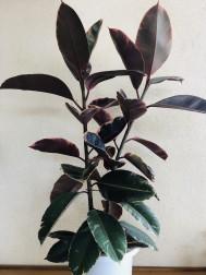 ゴムの木(100cm) 5,000円(税別)