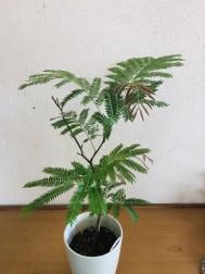 エバーフレッシュ(60cm) 2,000円(税別)