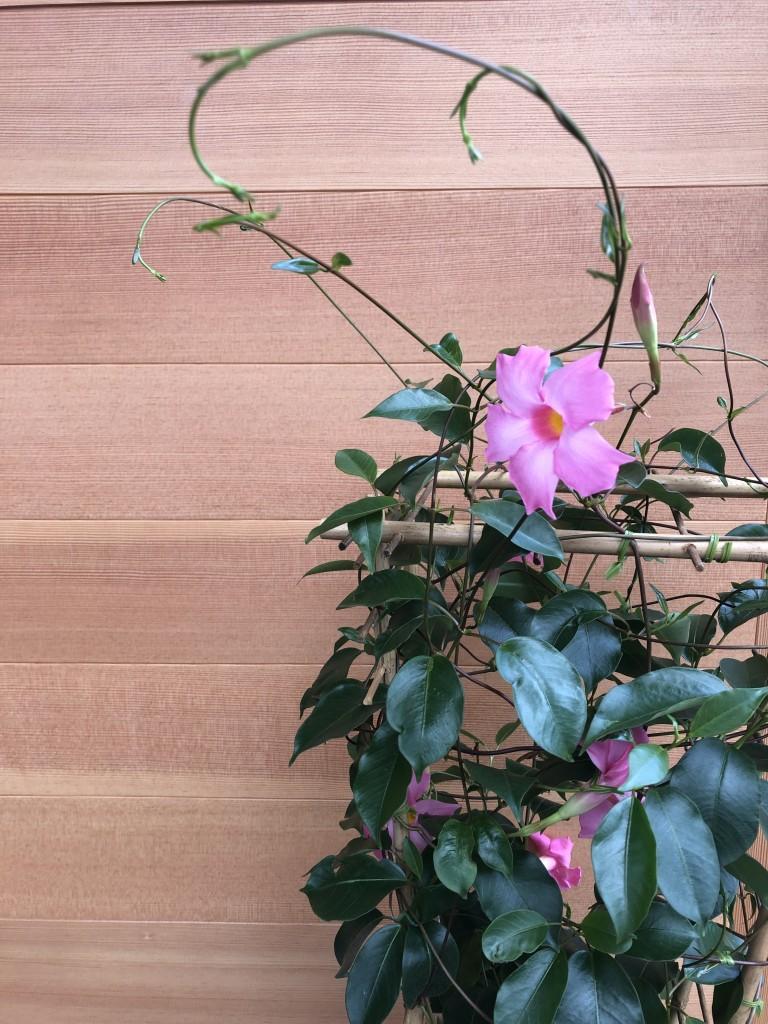 サンパラソル 3,000円(税別) 花付きが良く初心者でも育てやすいです。夏の太陽が似合う鮮やかなお花! 直射日光に当て水やりをしっかりしてあげてください。