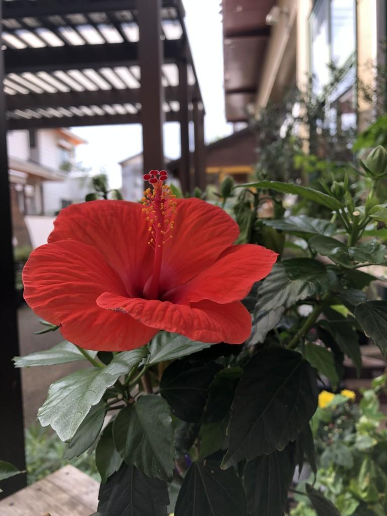 ハイビスカス 1,500円(税別) 夏の代表!次々と花を咲かせます。