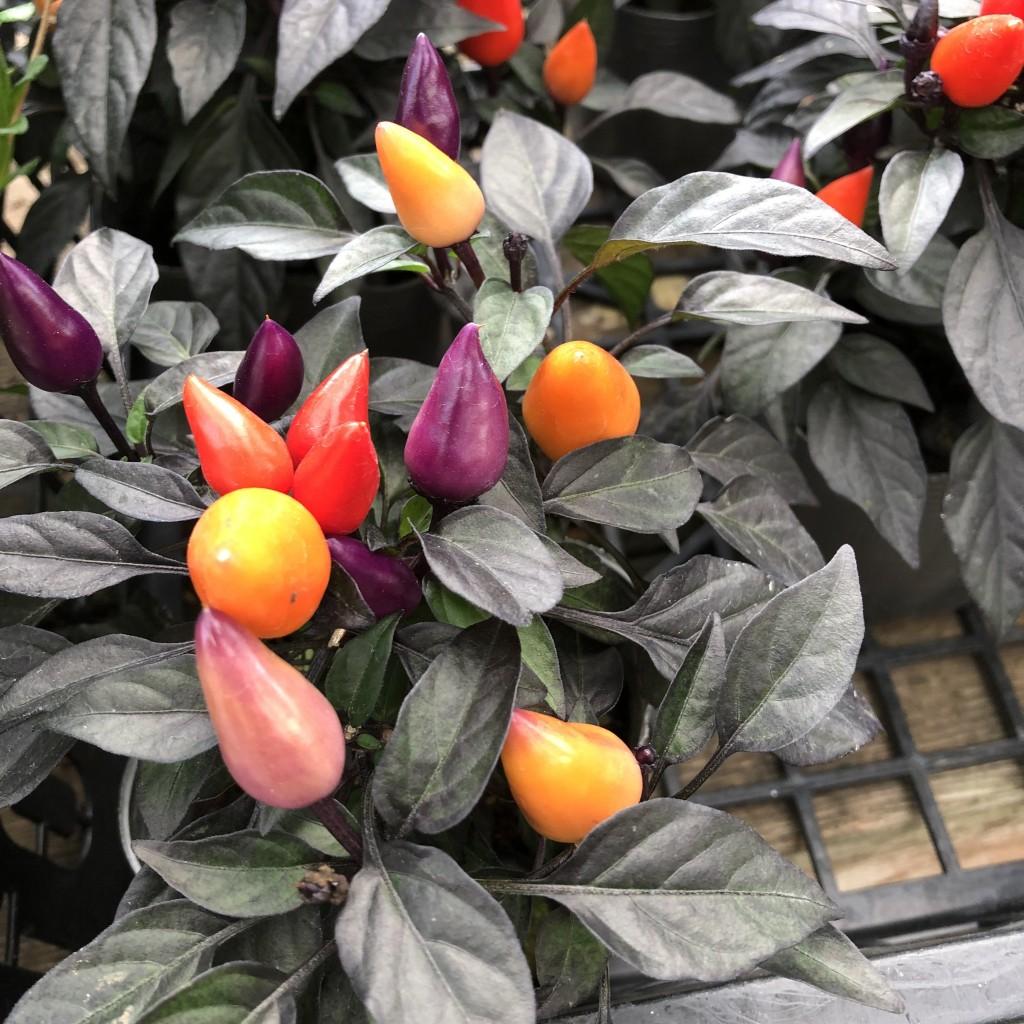 トウガラシ カリコ 300円(税別) 【観賞用】 育てやすく鮮やかな色が特徴。シックな葉がガーデニングをおしゃれにしてくれます。