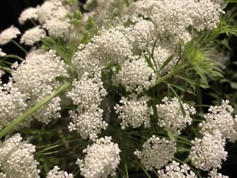レースフラワー この時期には珍しいレースフラワー。細かな花がふわふわと集まった乙女なお花。