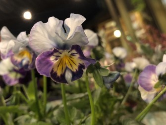 私が一番好きなのは、フリル咲きの「ときめきスミレ」という品種!グラデーションがとってもきれいでどの角度から見ても可愛いお花です。