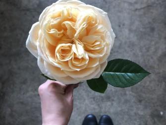 何回も言うようですが… 花びらの重なりとはなんと神秘的なんでしょう。溜息がでます…。