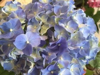 爽やかな紫陽花